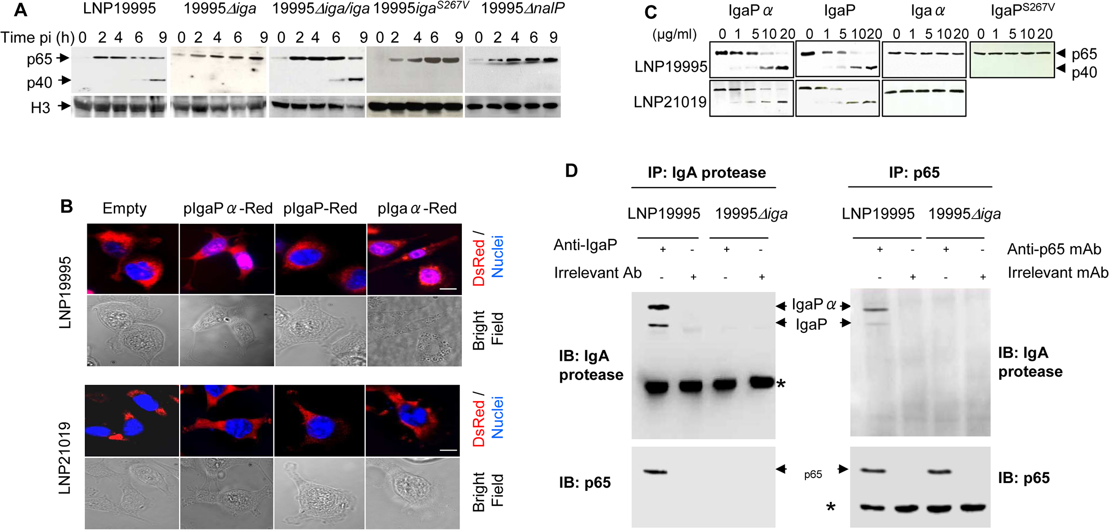 IgA protease of ST-11 isolates interacts with and mediates nuclear cleavage of p65/RelA.