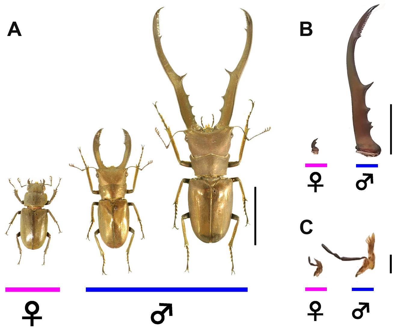 Focal stag beetle <i>Cyclommatus metallifer</i>.