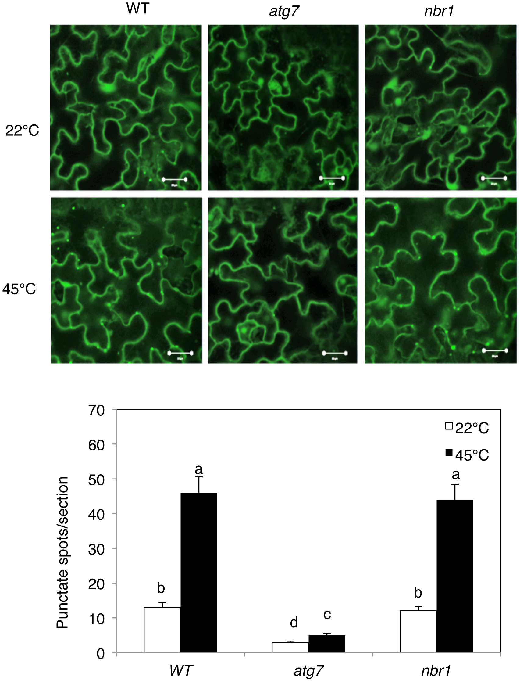 Increased formation of punctate structures containing GFP-NBR1 under heat stress.