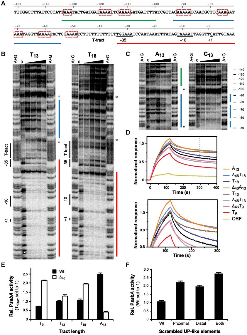 α-subunits of RNAP bind to A-boxes upstream of the T-tract.