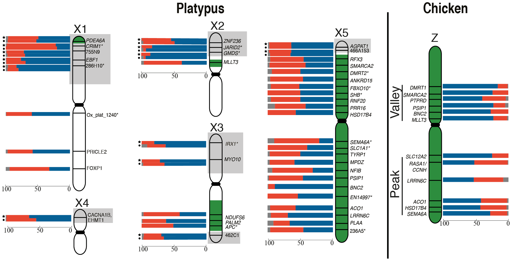 RNA-FISH activity maps of the platypus Xs and chicken Z chromosomes.