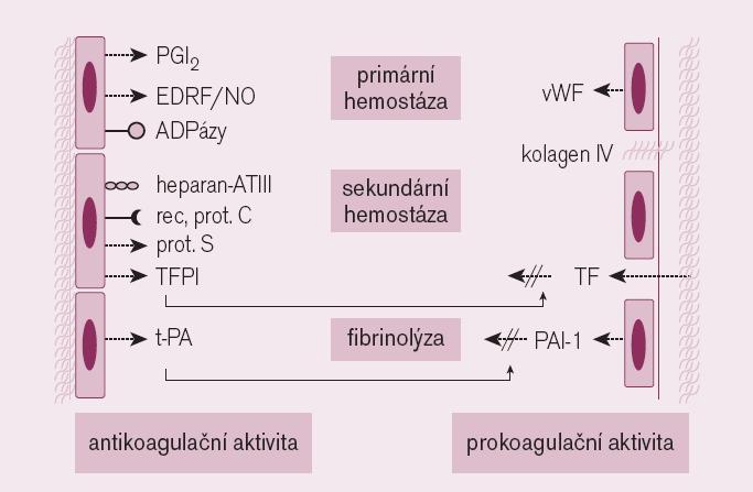 Schéma. Endotel a jeho vliv na hemostázu.