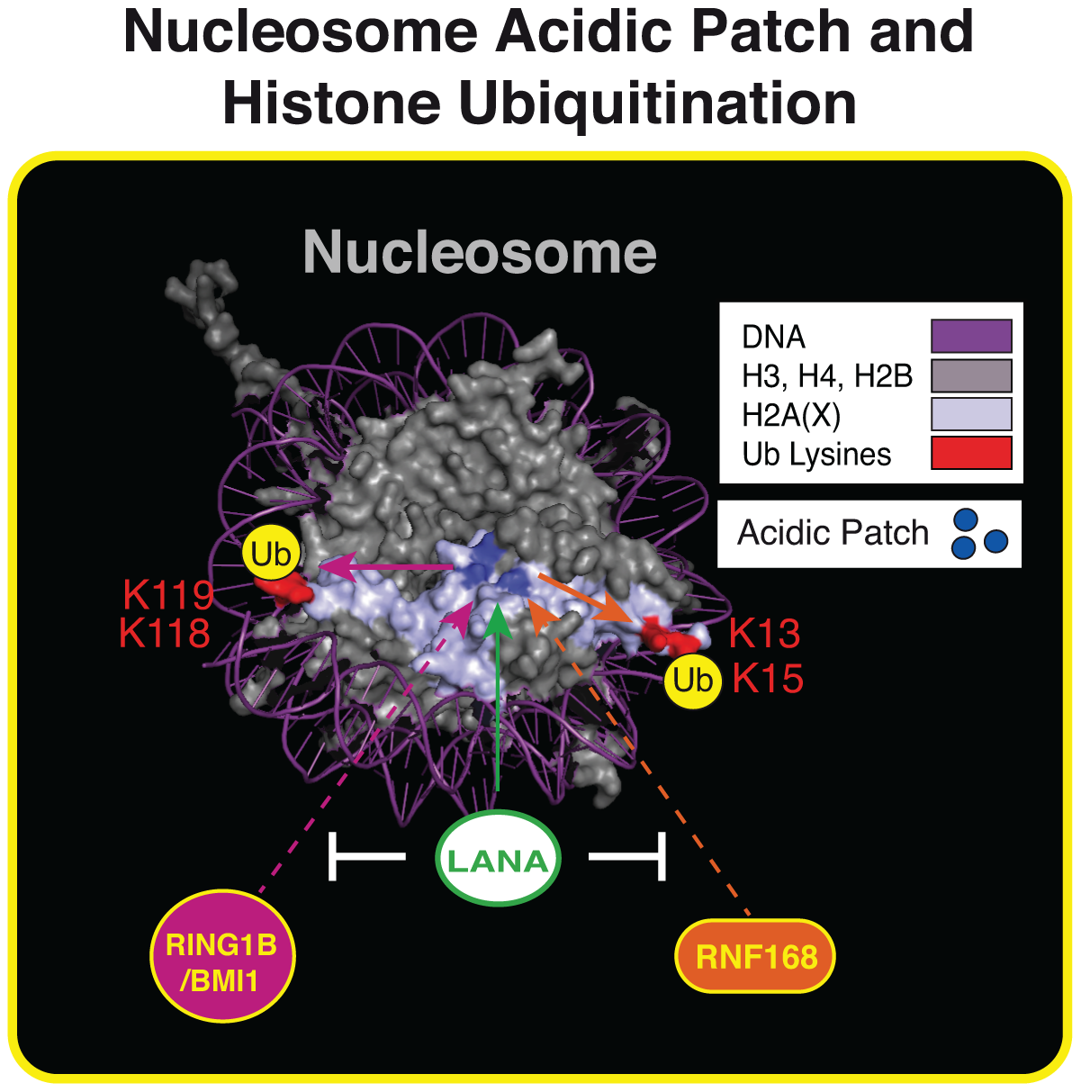 The nucleosome acidic patch and histone ubiquitination.
