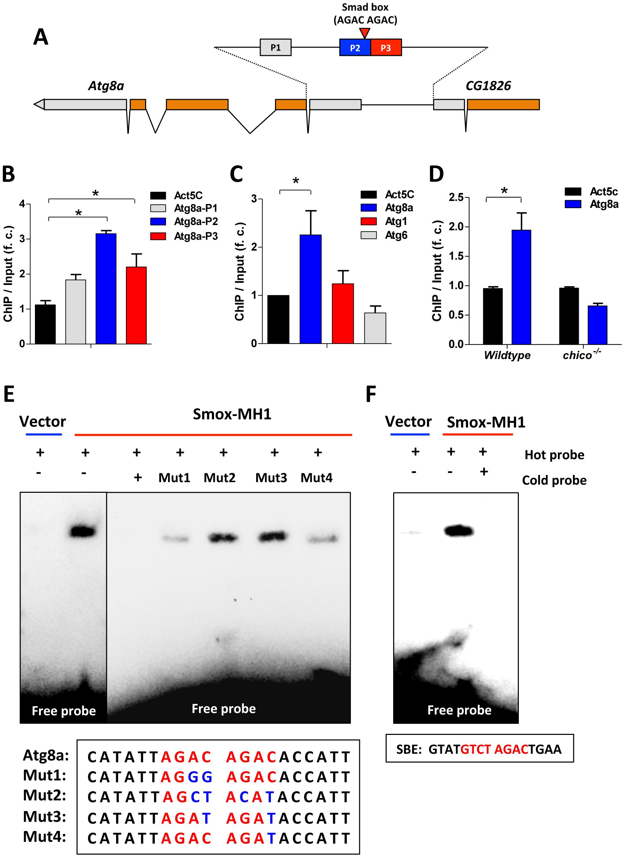 Activin signaling represses autophagy via transcriptional regulation on Atg8a.