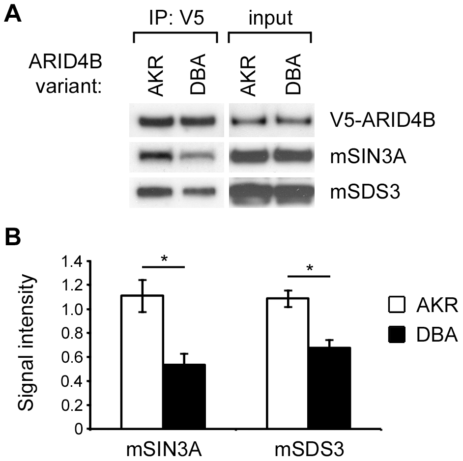 Differential binding of the AKR and DBA variants of ARID4B to the mSIN3A complex.
