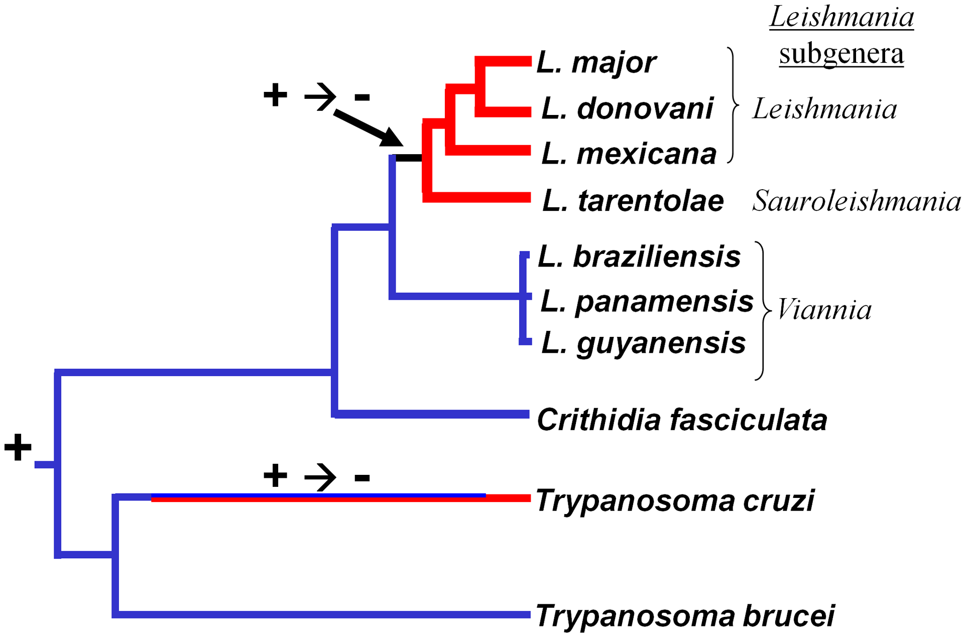 Retention and loss of RNAi machinery and activity during trypanosomatid evolution.