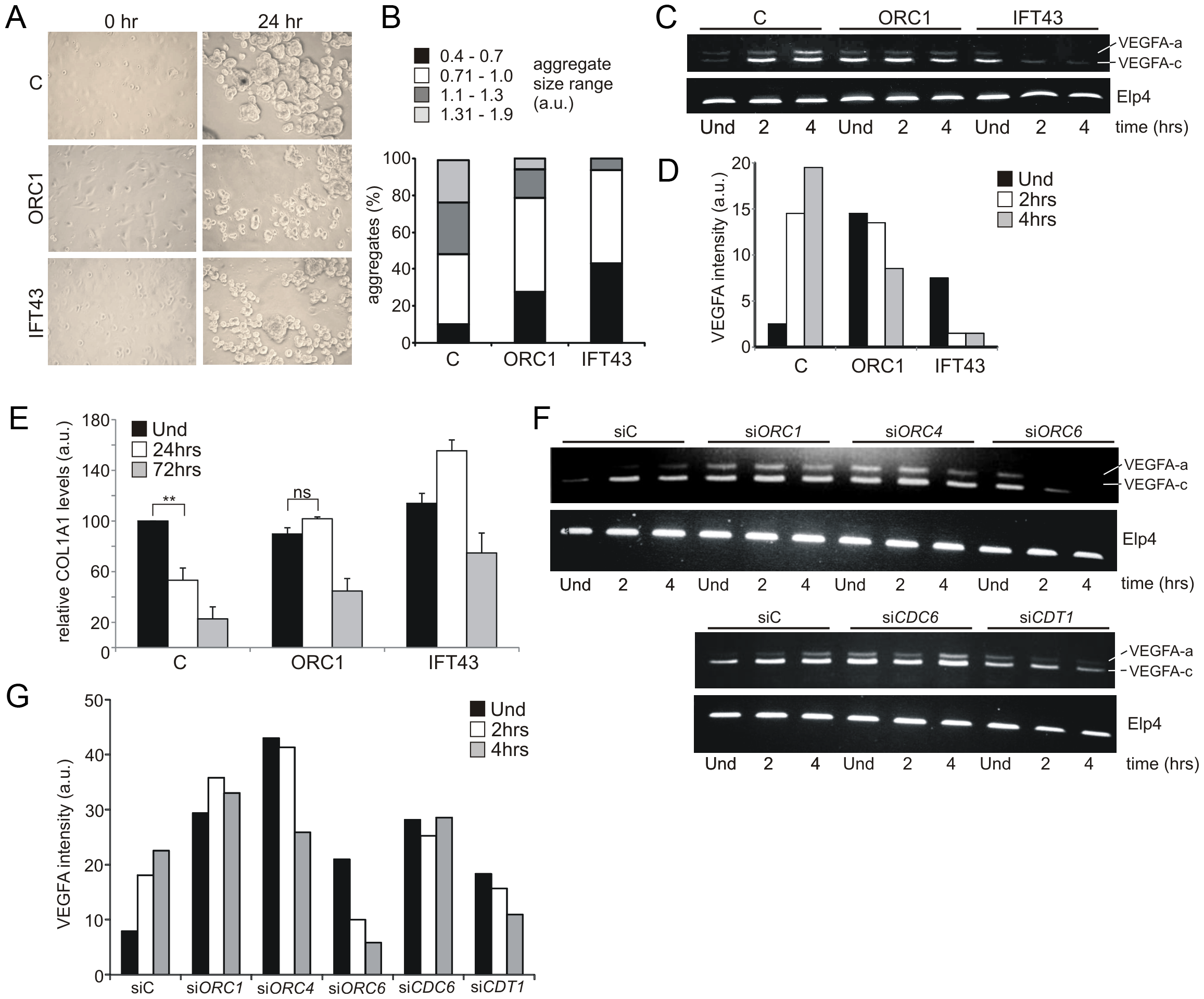 ORC1 Meier-Gorlin syndrome and IFT43 Sensenbrenner syndrome fibroblasts exhibit impaired chondroinduction.