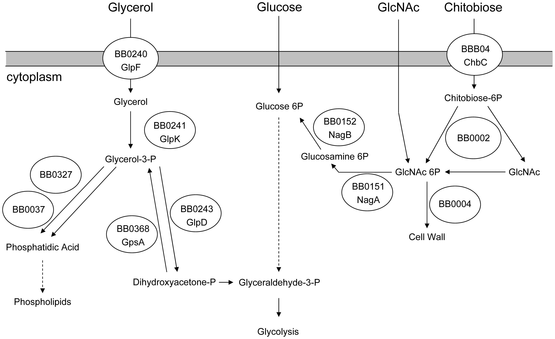 Predicted carbohydrate utilization pathways in <i>B. burgdorferi</i>.