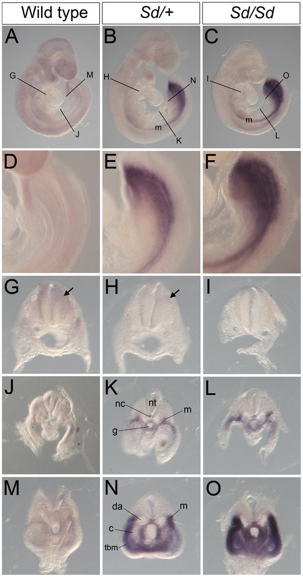Ectopic expression of <i>Ptf1a</i> in <i>Sd/+</i> and <i>Sd/Sd</i> embryos at E9.5.