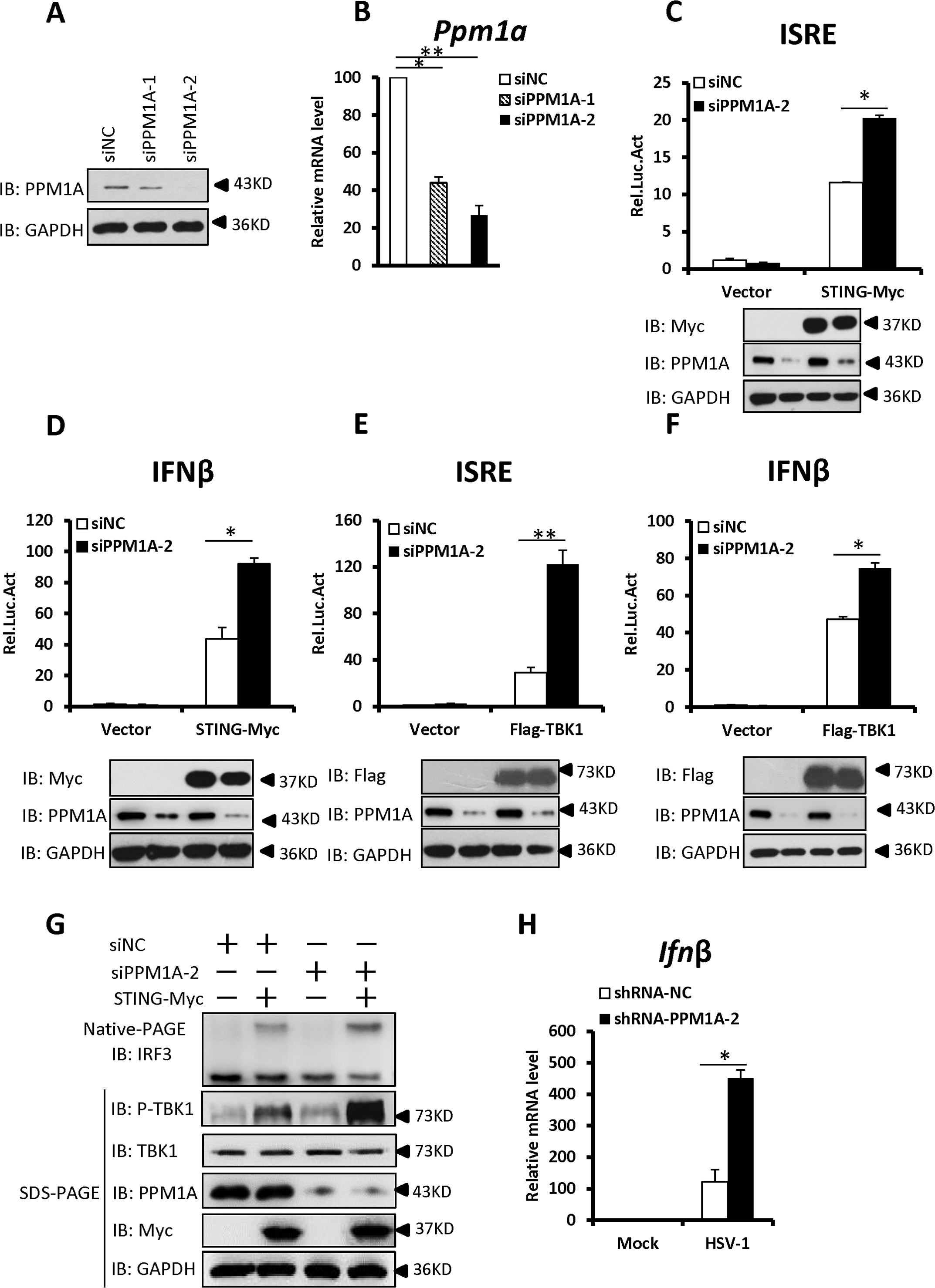 Knockdown of PPM1A potentiates STING signaling.