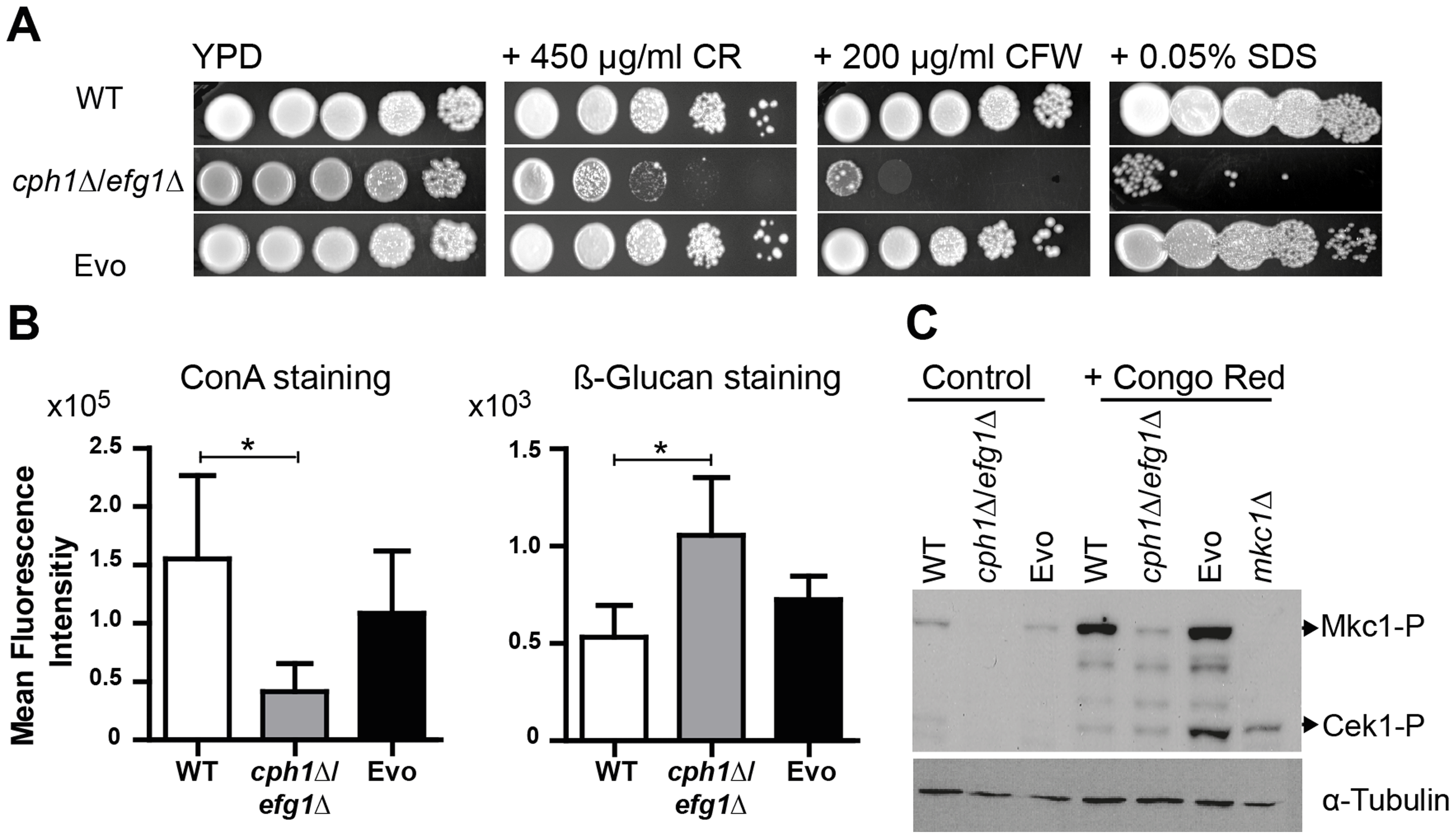 Microevolution led to decreased sensitivity of the Evo strain to different cell wall perturbing agents.