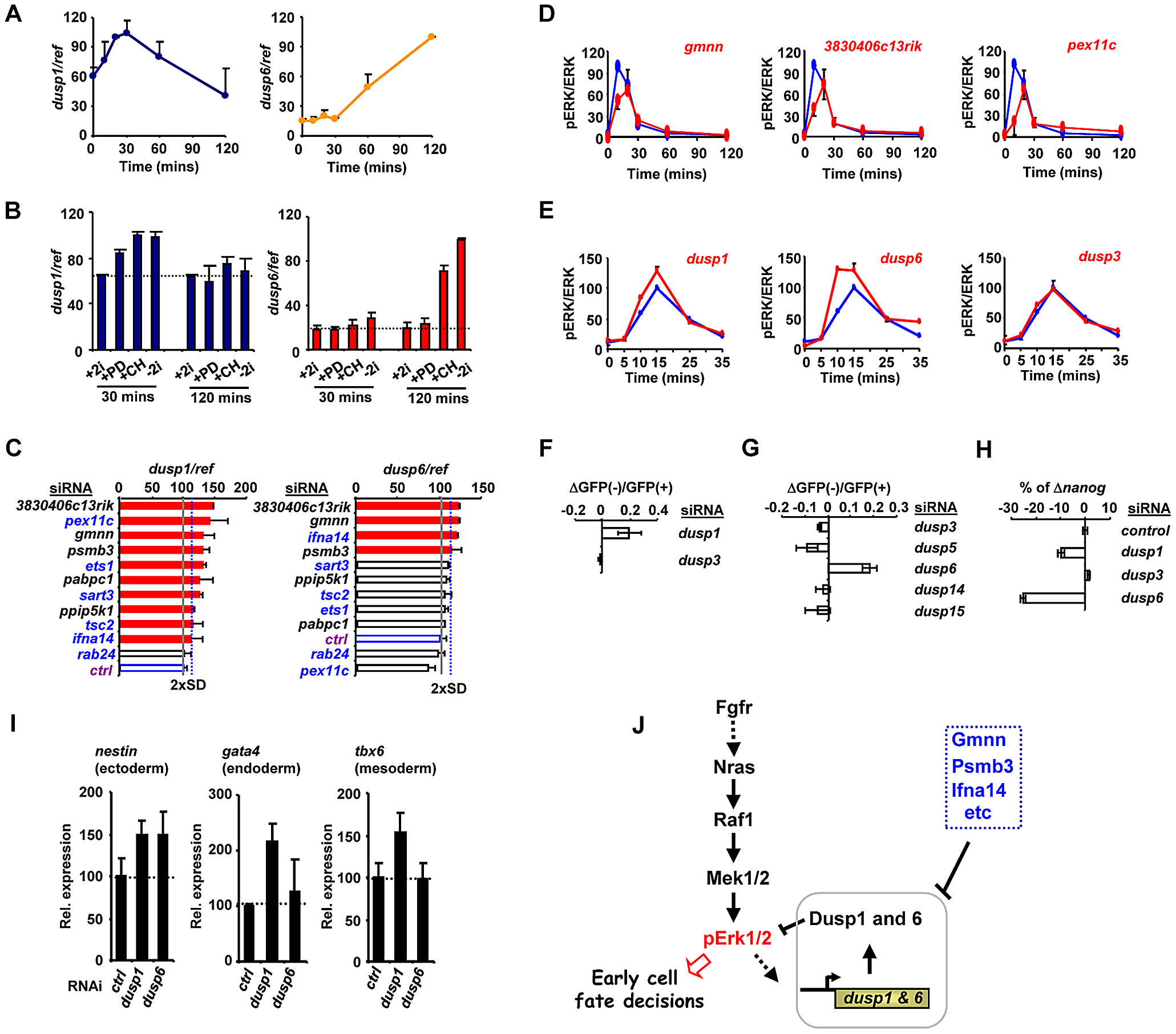 The regulation of Dusp1 and Dusp6 activity and ES cell differentiation.