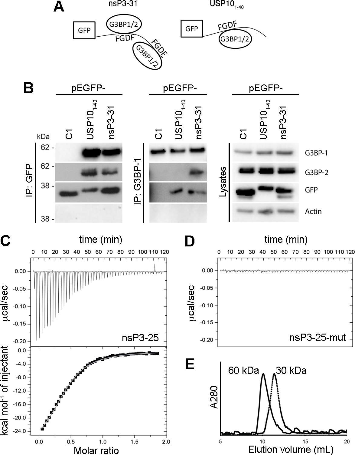 SFV nsP3, containing two FGDF repeats, binds two G3BP molecules, while USP10 binds only one.