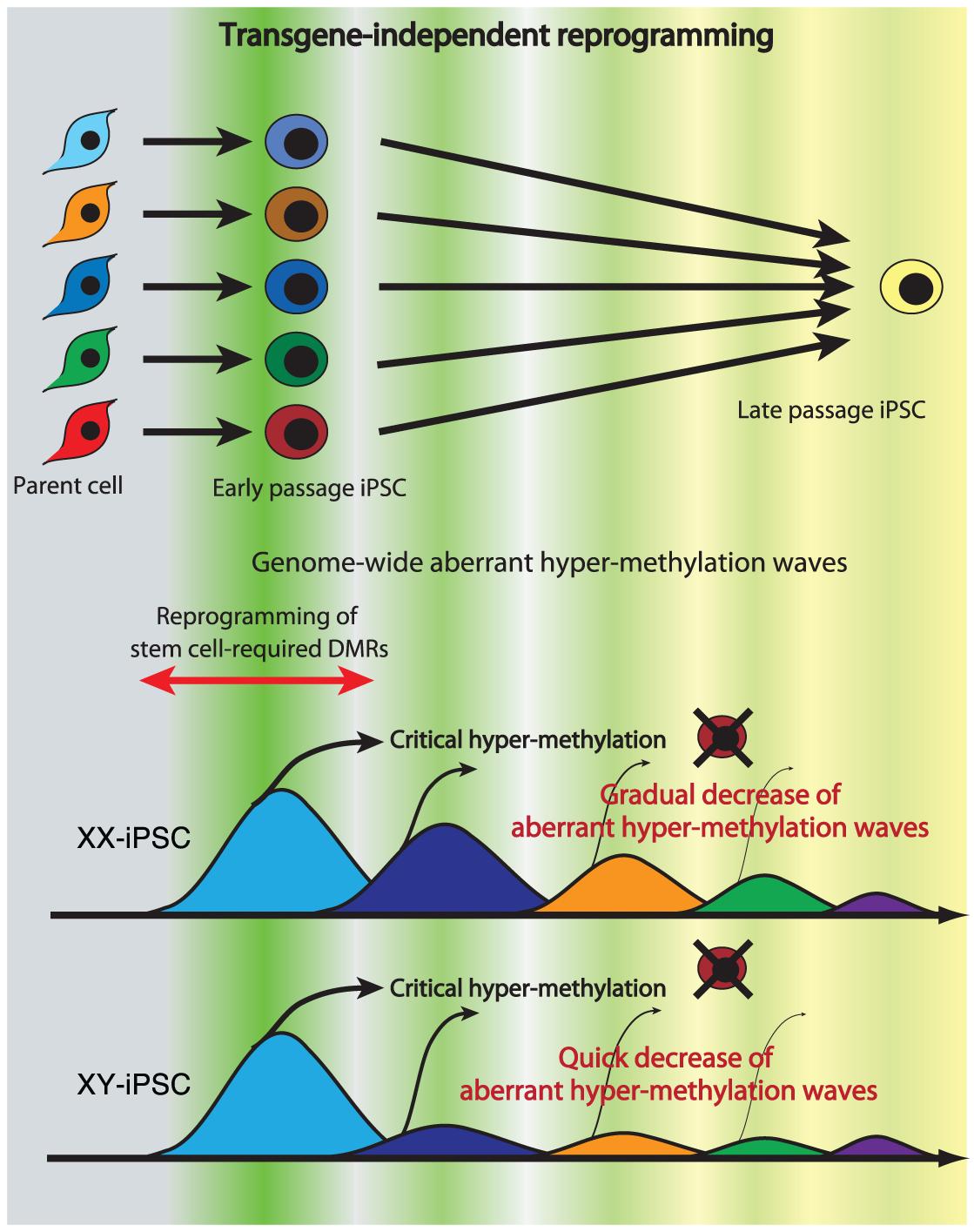 Model of mechanism for transgene-independent reprogramming.