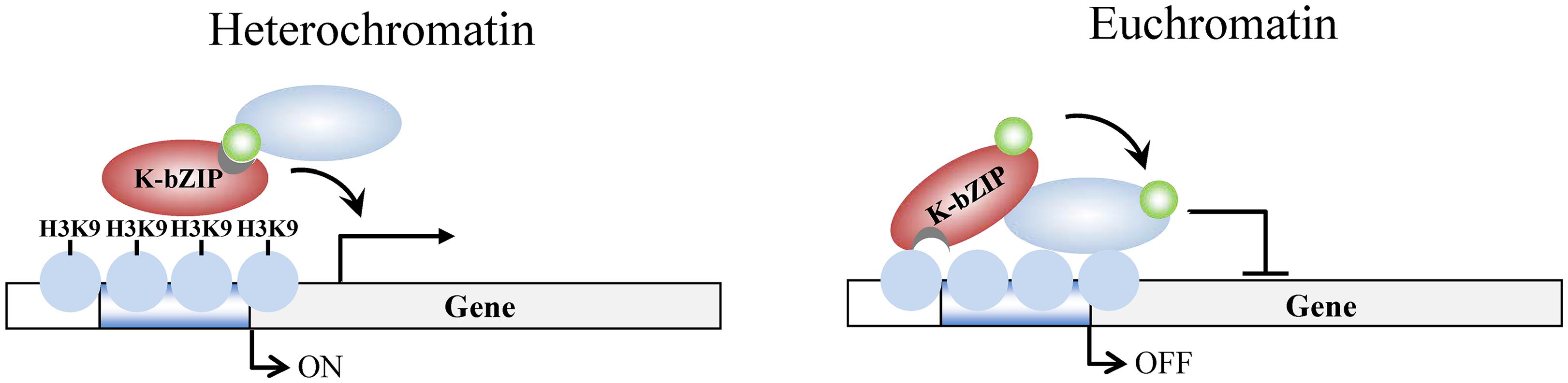 Model of K-bZIP regulation of viral gene expression in heterochromatin and euchromatin regions of the KSHV genome during reactivation.
