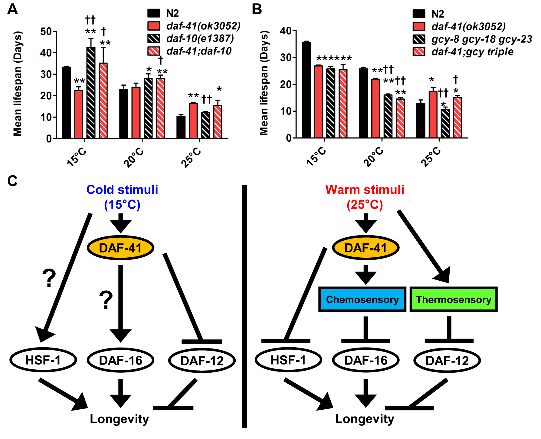 <i>daf-41</i> partially interacts with the chemosensory and thermosensory apparatus to regulate longevity.