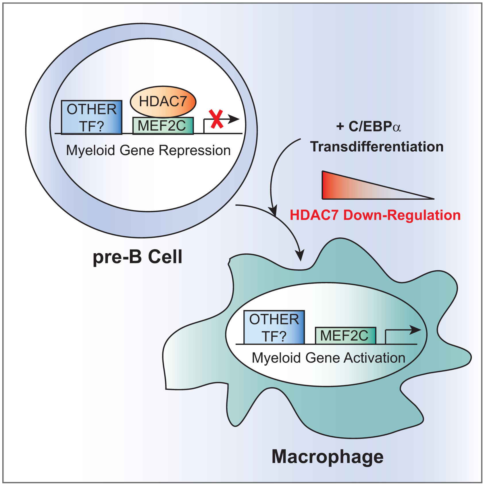 Model for HDAC7-mediated transcriptional repression in pre-B cells.