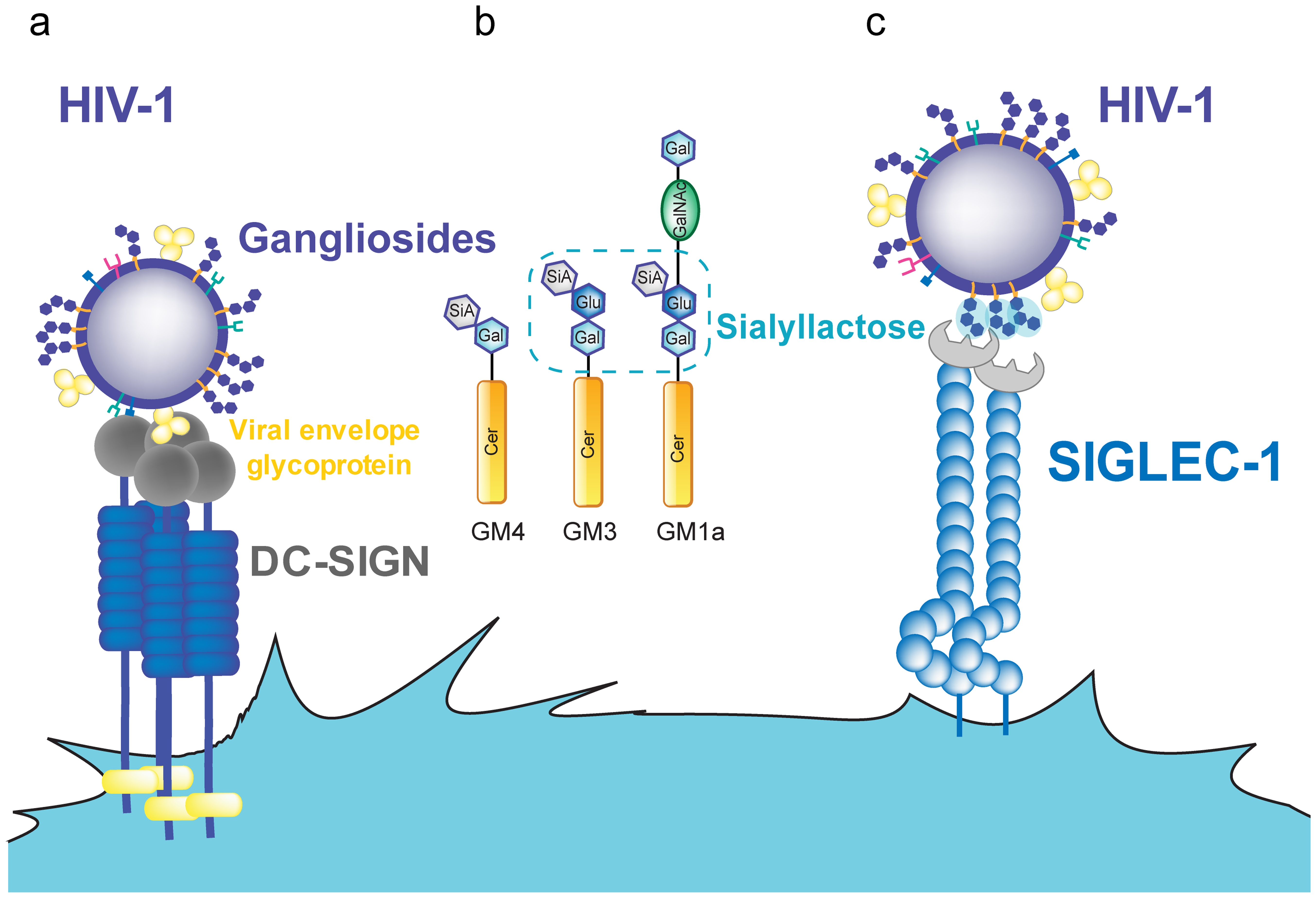 HIV-1 binding to DC receptors.