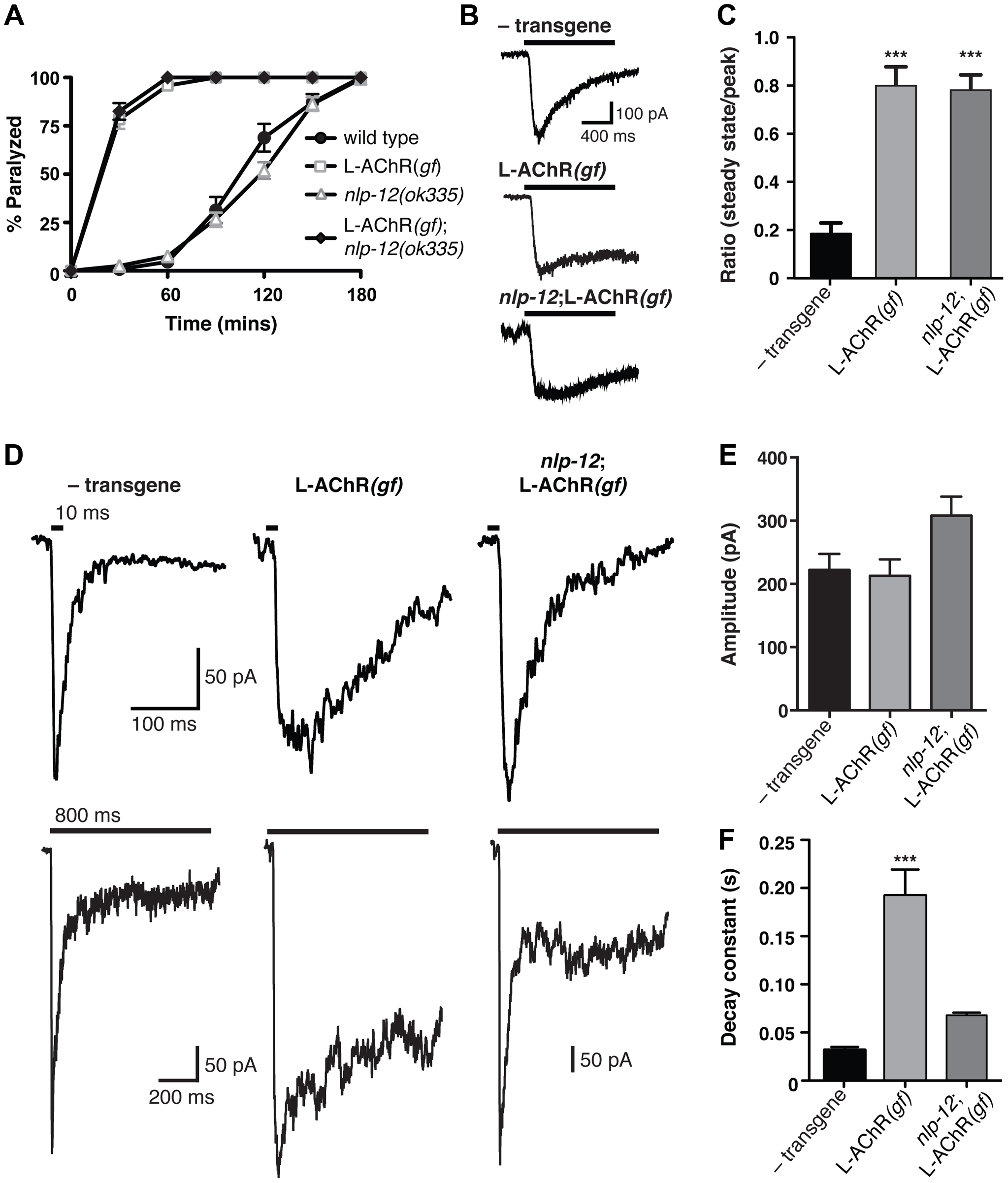 Evoked synaptic responses are prolonged in L-AChR(<i>gf</i>) animals and require <i>nlp-12</i>.