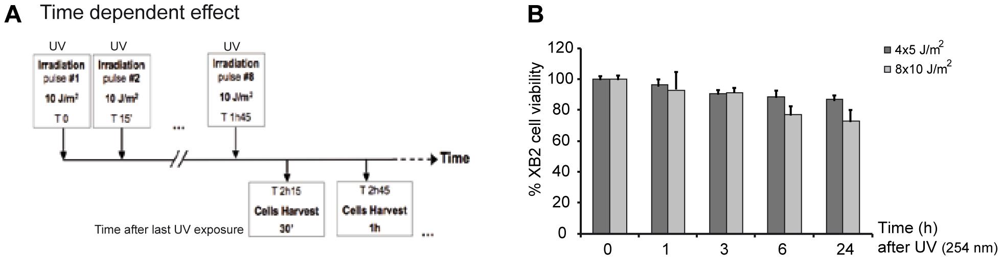 UV-irradiation protocol of XB2 mouse keratinocytes.