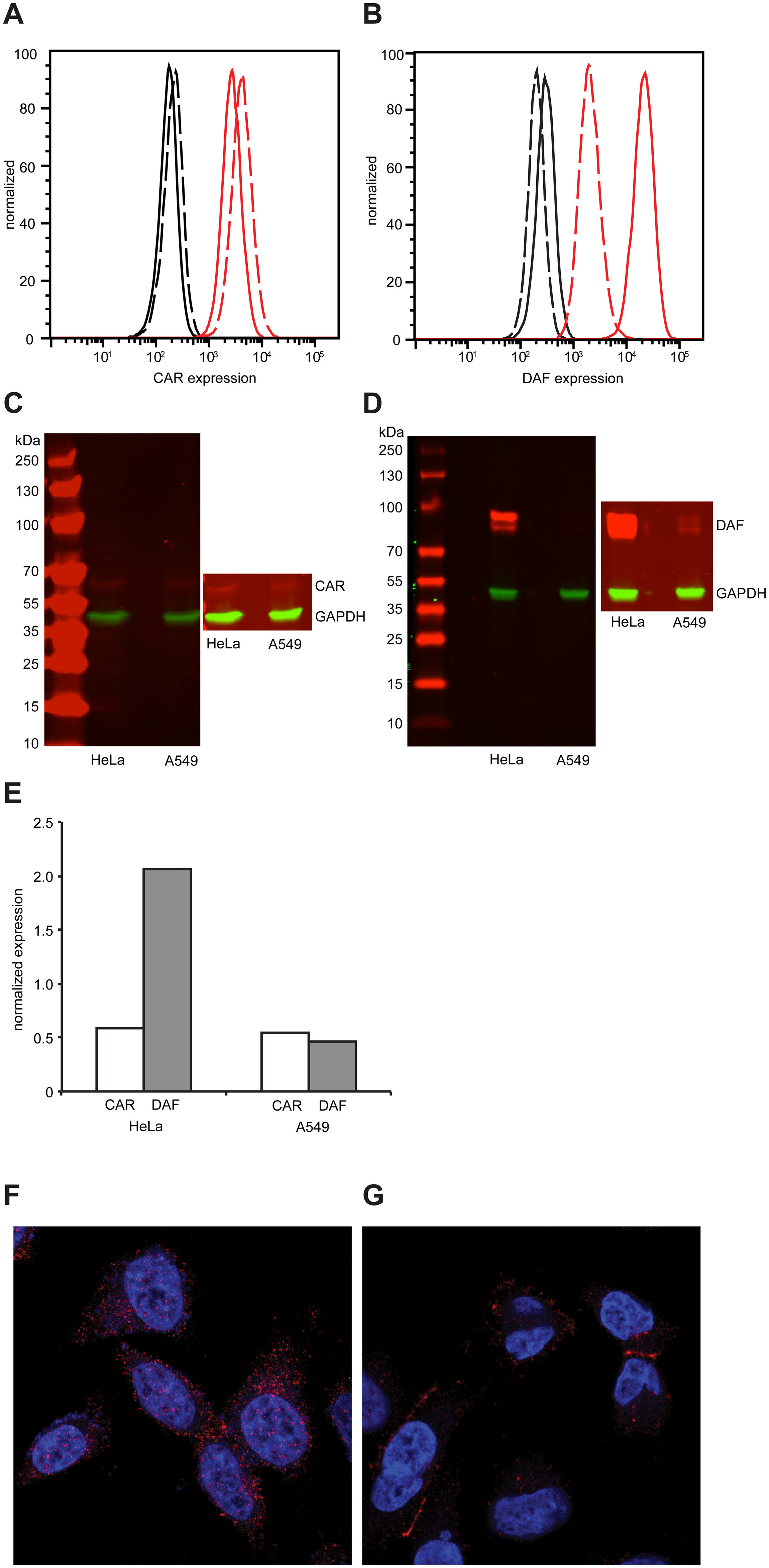 Differential expression of CAR and DAF in HeLa and A549 cells.