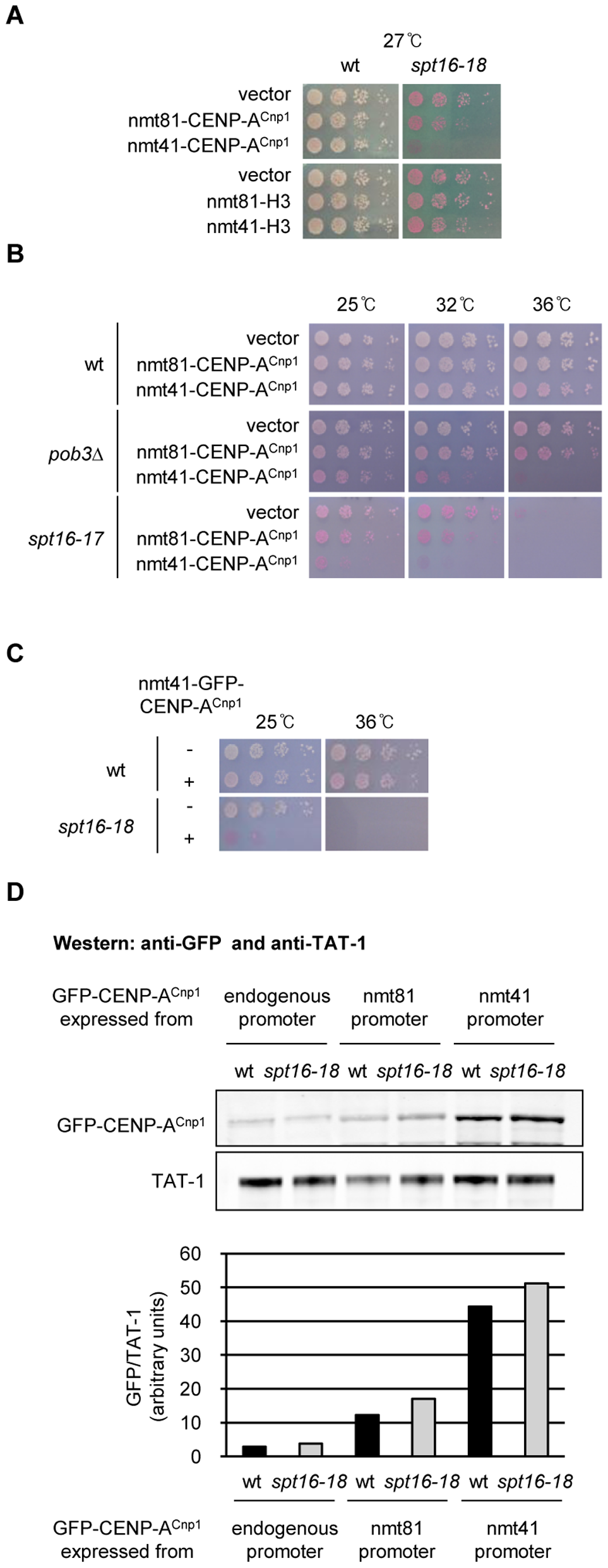 Overexpression of CENP-A<sup>Cnp1</sup> causes toxicity in FACT mutants.