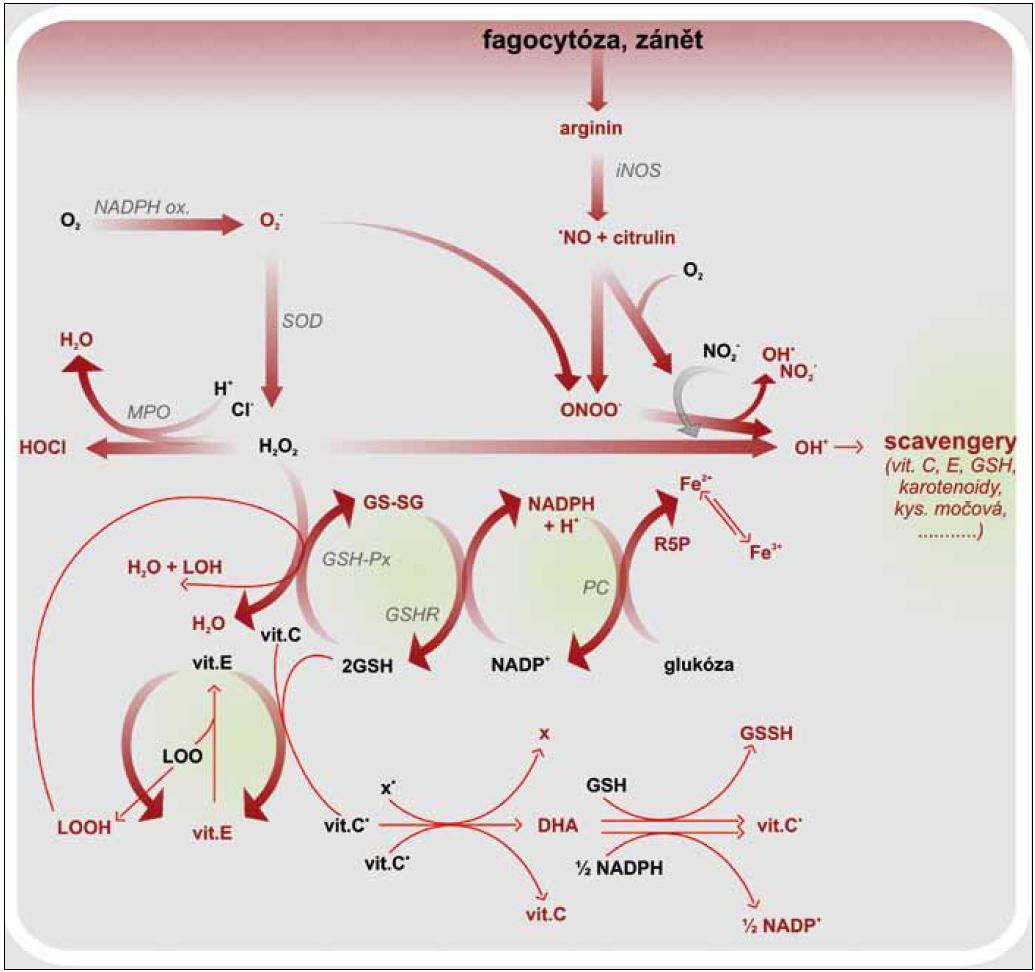 Vznik ROS a RNS, jejich neutralizace a regenerace antioxidantů. GSH – glutation, GSH-Px – glutation peroxidáza, GSH-R – glutation reduktáza, GS-SG – oxidovaný glutation (glutation disulfid), HOCl – kyselina chlorná, LOOH – lipidový hydroperoxid, LOO· – lipoperoxylový radikál, MPO – myeloperoxidáza, ·NO – oxid dusnatý, ·OH – hydroxylový radikál, ONOO<sup>–</sup> – peroxynitrit, PC – pentózový cyklus, R5P – ribulóza 5 fosfát, SOD – superoxid dismutáza, vit. C·– radikál vitaminu C, vit. E·– radikál vitaminu E, x·– radikál