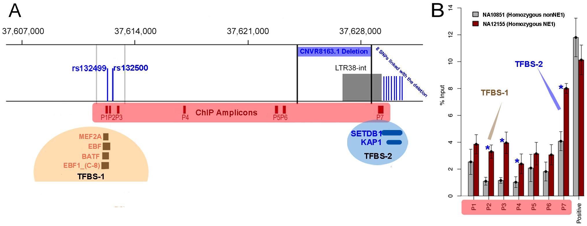 The regulatory functions of NE1 locus.