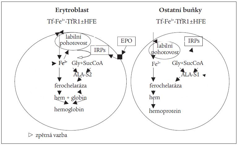 Schéma 5. Regulace resorpce železa buňkou.