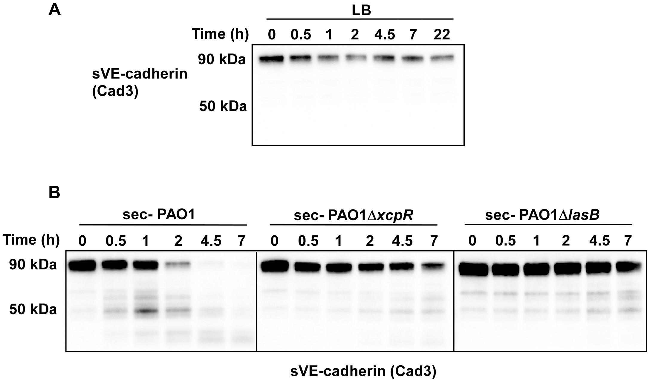 <i>P. aeruginosa</i>'s secretomes cleave VE-cadherin extracellular domain.