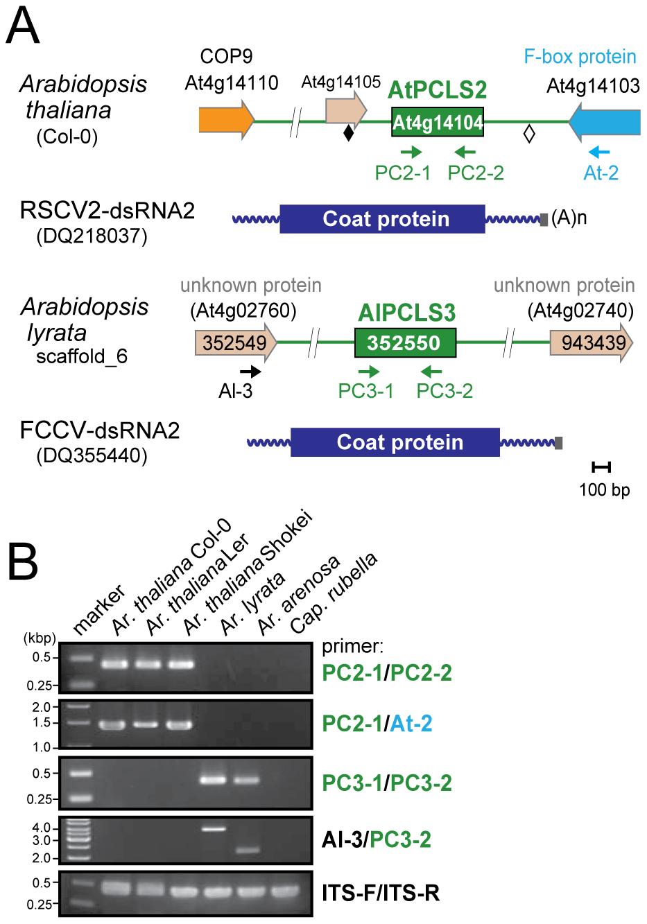 <i>PCLS2</i> and <i>PCLS3</i> homologs from members of the genus <i>Arabidopsis</i>.