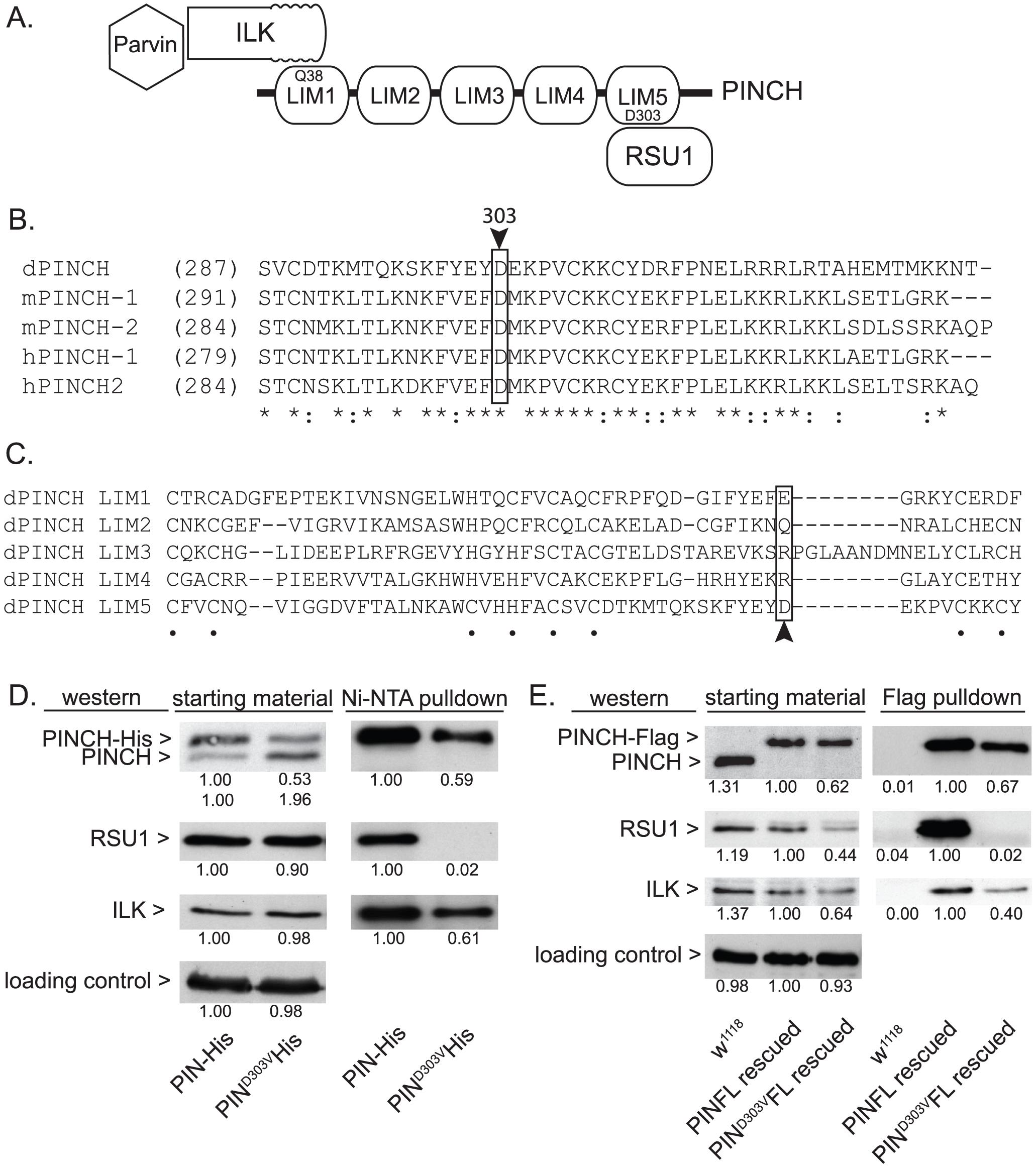 PINCH<sup>D303V</sup> mutation disrupts binding to RSU1.