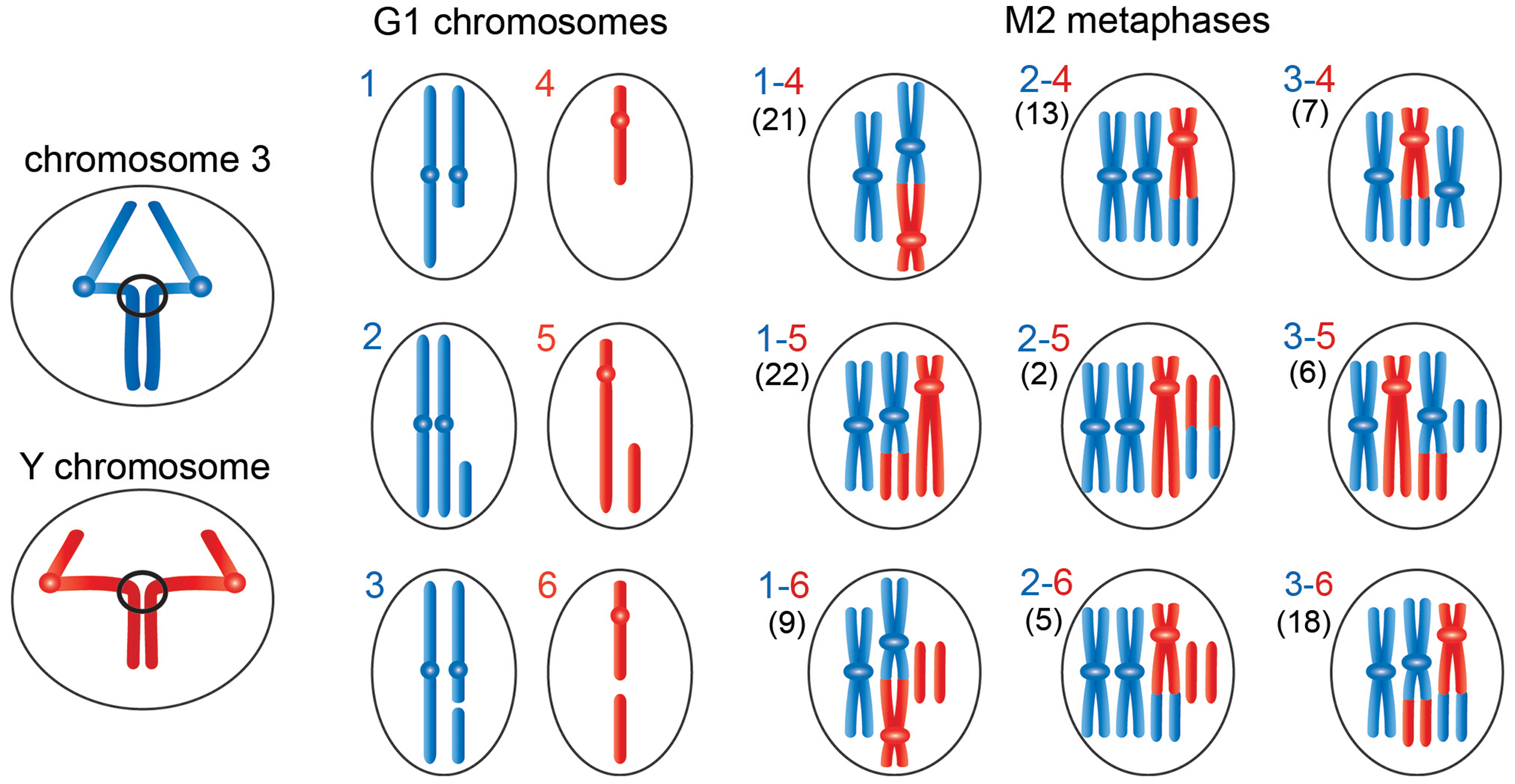 "Schematic representation of the events leading to the chromosome rearrangements shown in <em class=""ref"">Figure 3</em>."