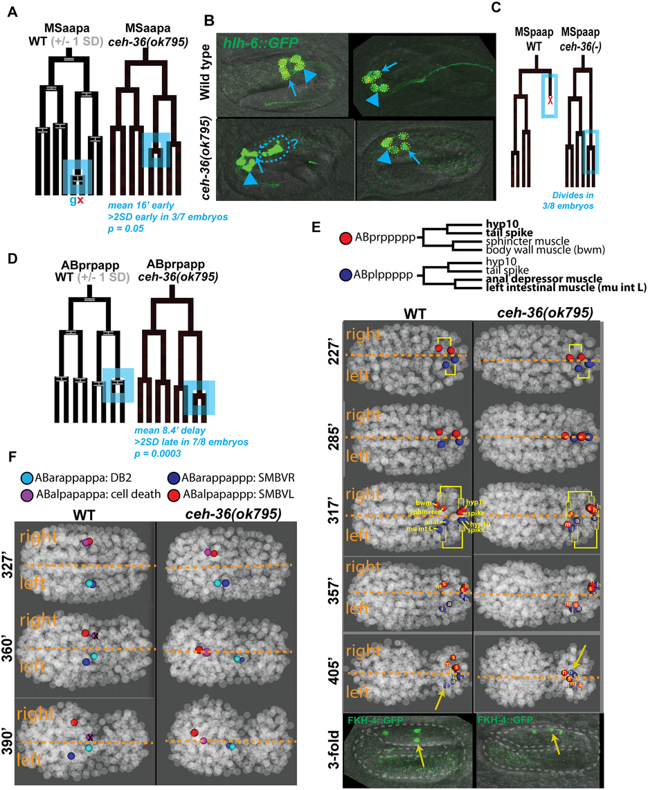Examples of cell lineage and position defects observed in <i>ceh-36</i> mutants.