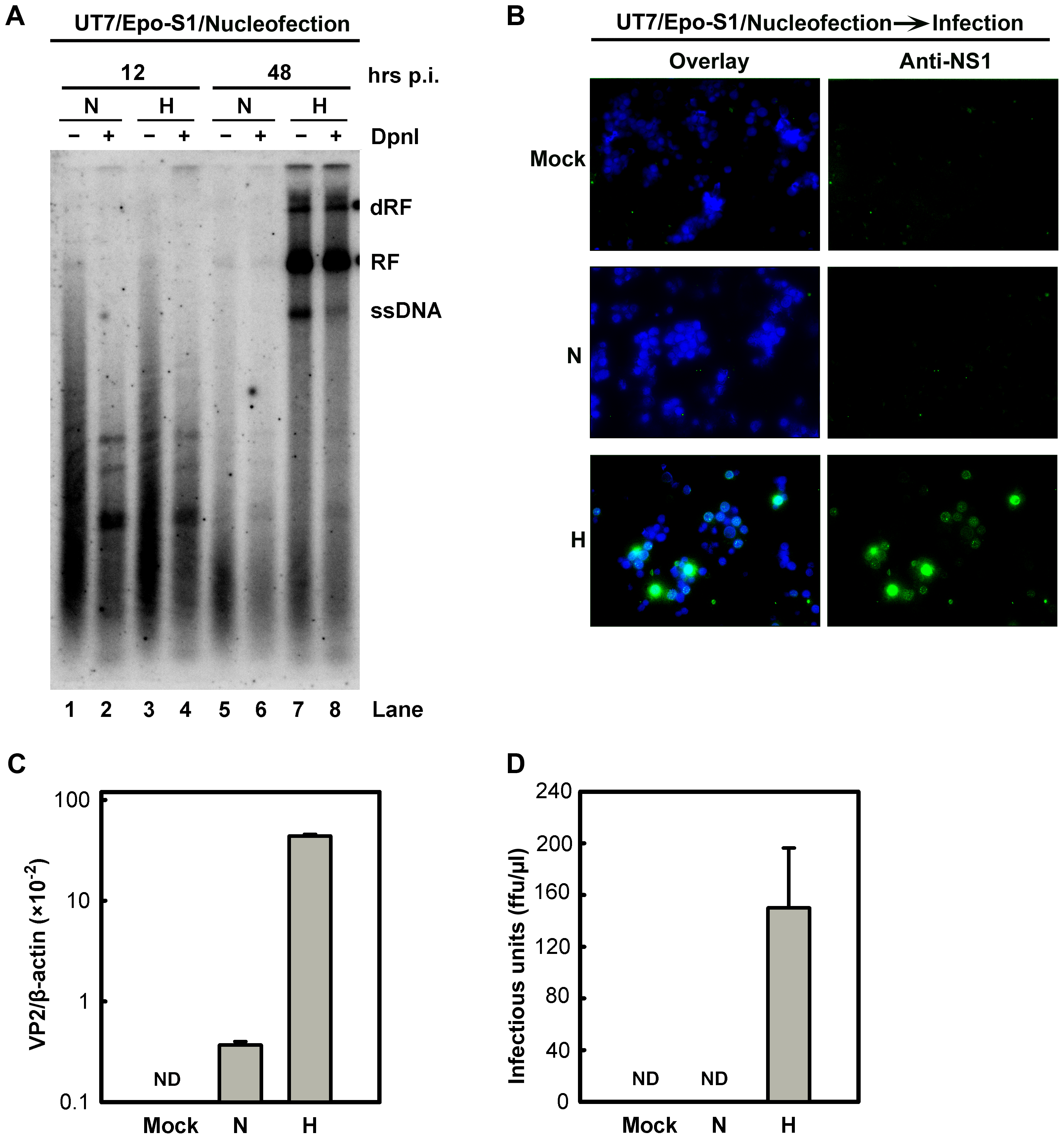 B19V DNA replication and <i>de novo</i> production of infectious virions in UT7/Epo-S1 cells under hypoxia.