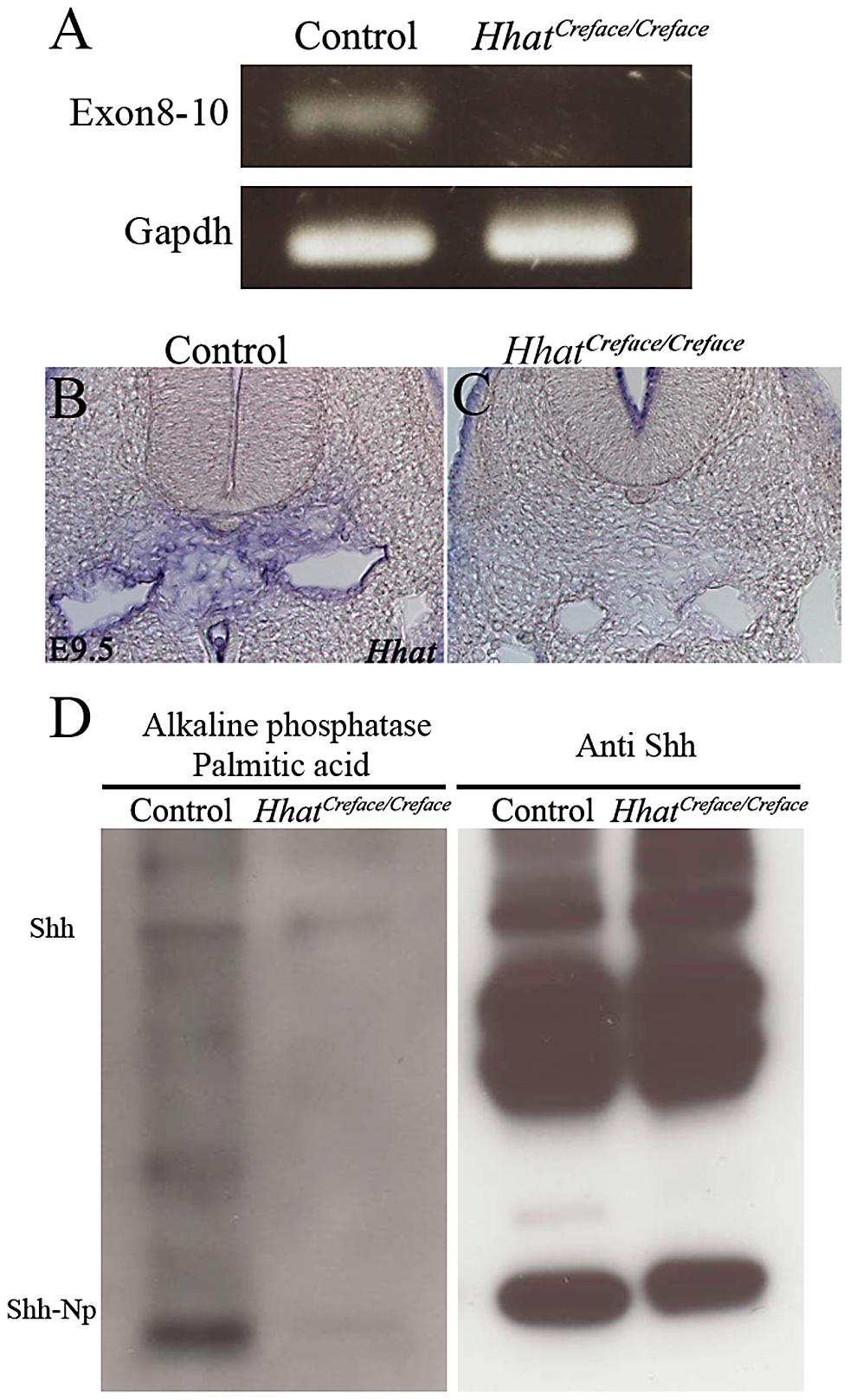 <i>Hhat</i> loss-of-function perturbs gene expression and palmitoylation of <i>Shh.</i>