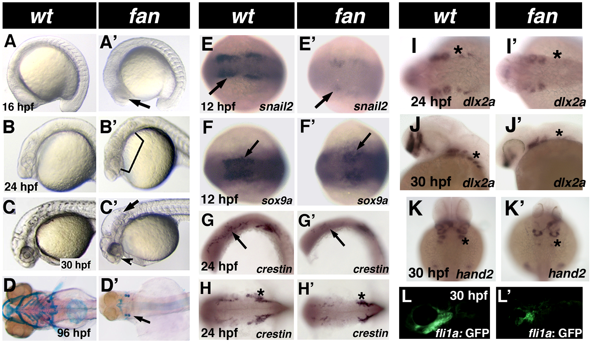 Phenotype of <i>fan</i> mutants.