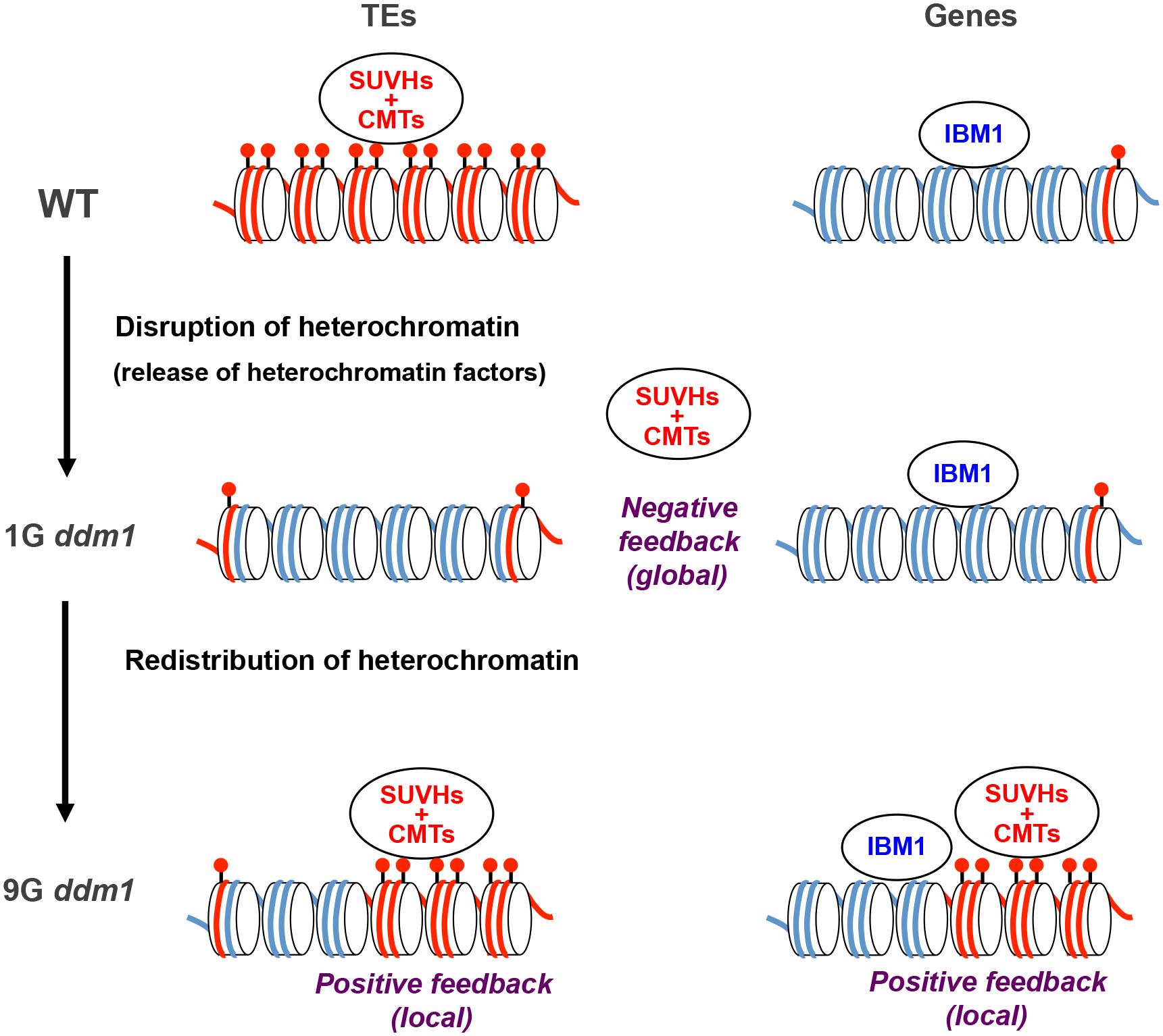 A model for the transgenerational heterochromatin redistribution.