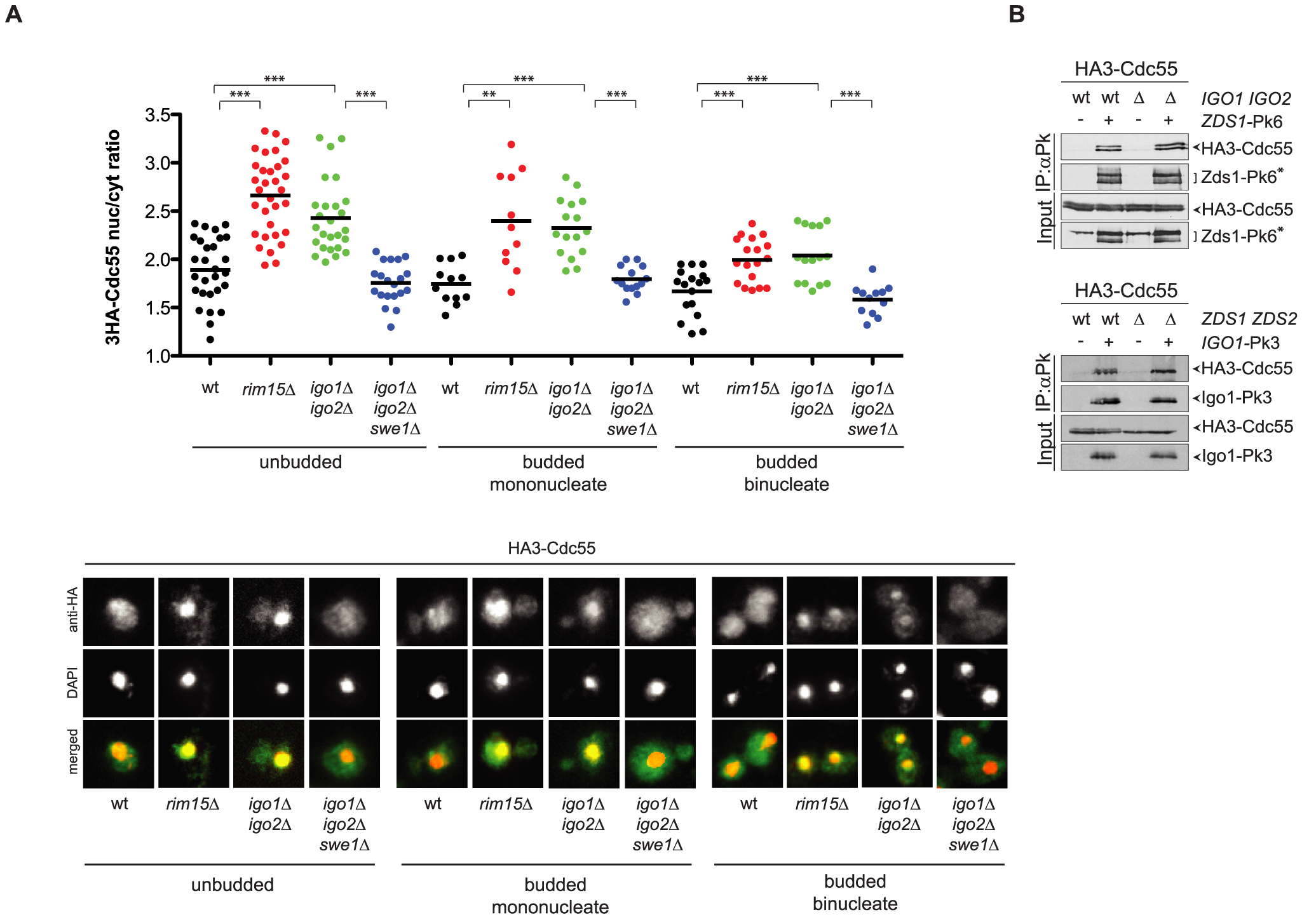 Igo1 and Igo2 control the subcellular localization of PP2A<sup>Cdc55</sup> independently of Zds proteins.