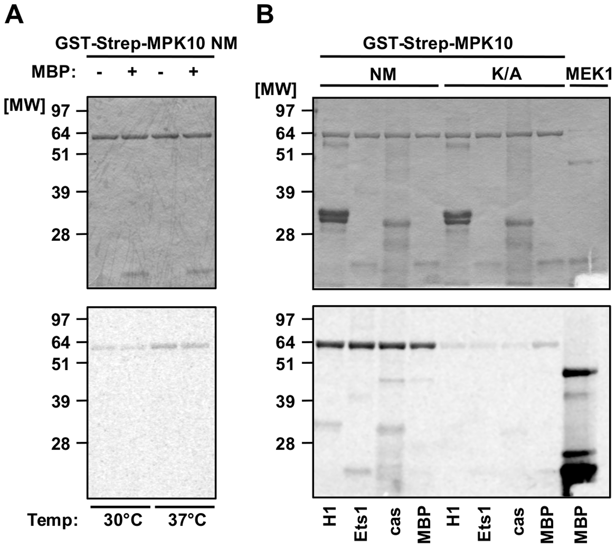 Recombinant MPK10 shows no significant substrate-specific kinase activity.