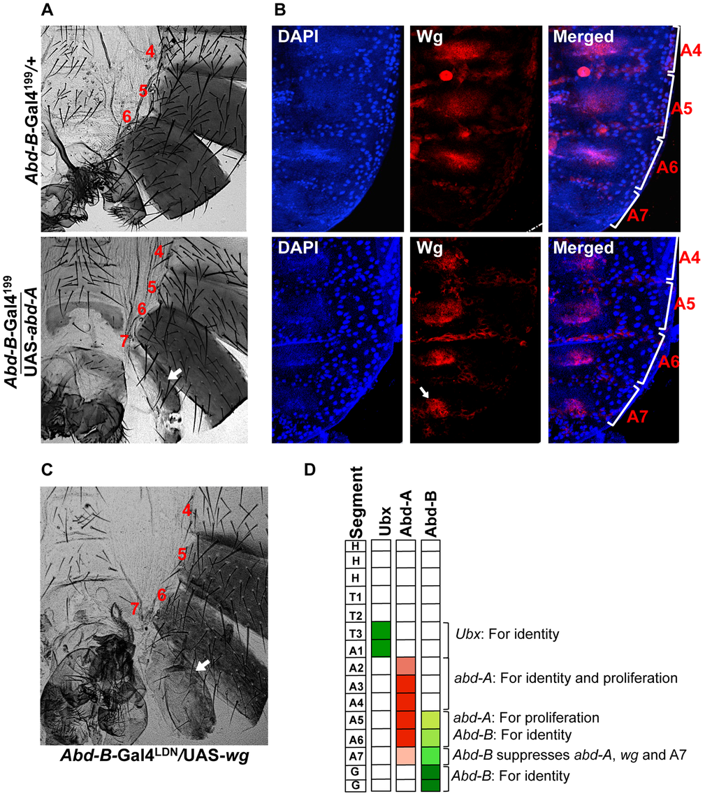 Abd-A activates <i>wingless</i> for development of abdominal epithelia.
