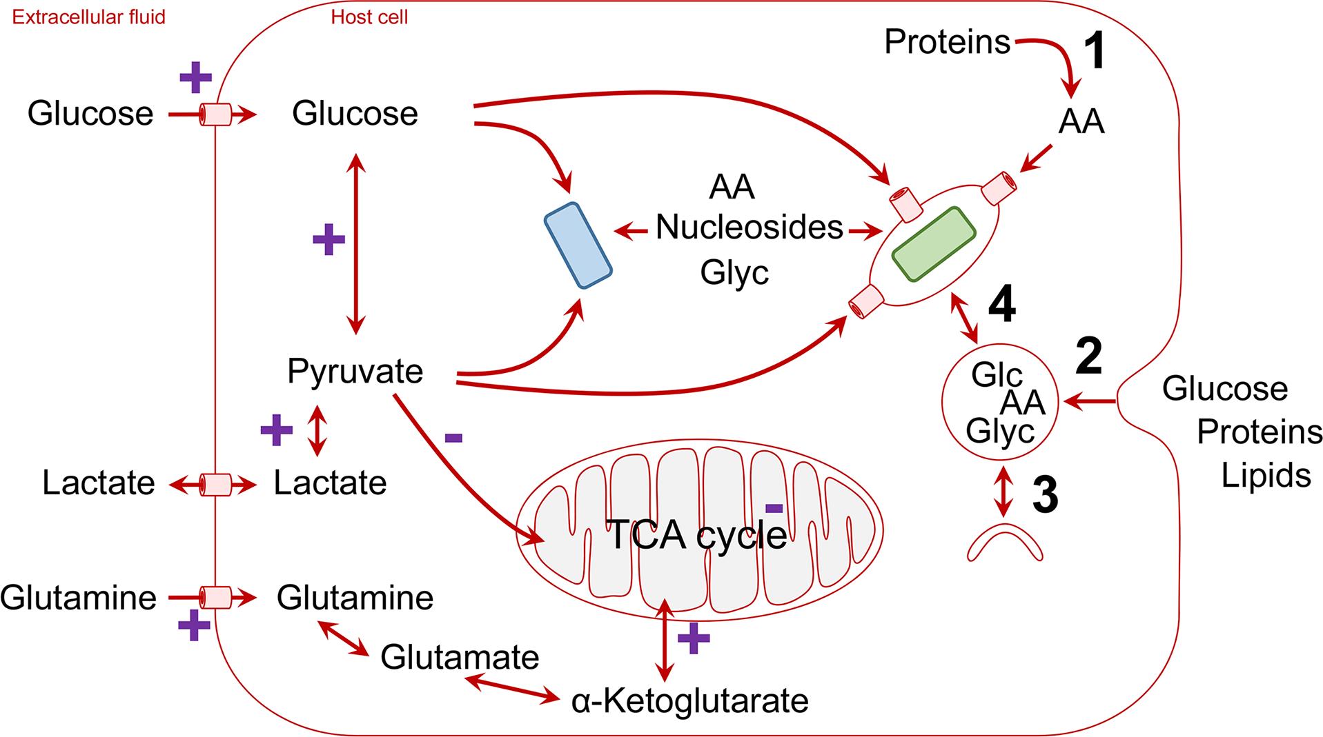 Schematic overview of host nutrient supply for intracellular pathogens (blue, cytosolic pathogen; green, vacuolar pathogen; AA, amino acids; Glc, glucose; Glyc, glycerol).