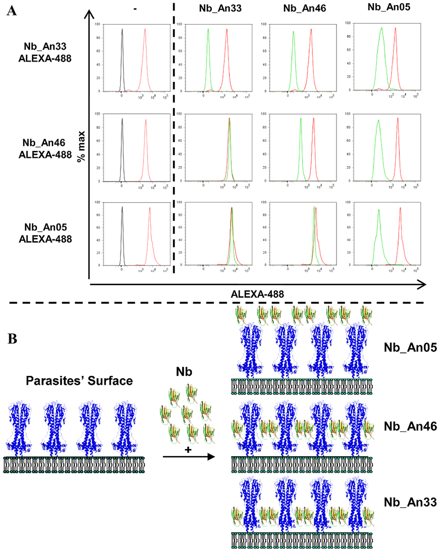 Competition binding experiments and schematic representation of the localization of Nb binding on VSG.