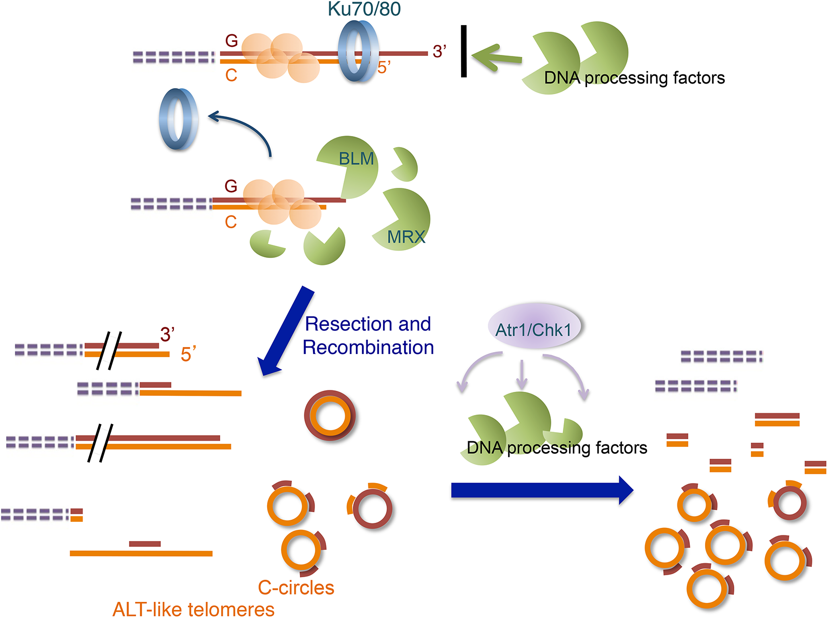 Model for the ALT-like pathway in the <i>U</i>. <i>maydis ku</i> mutants.