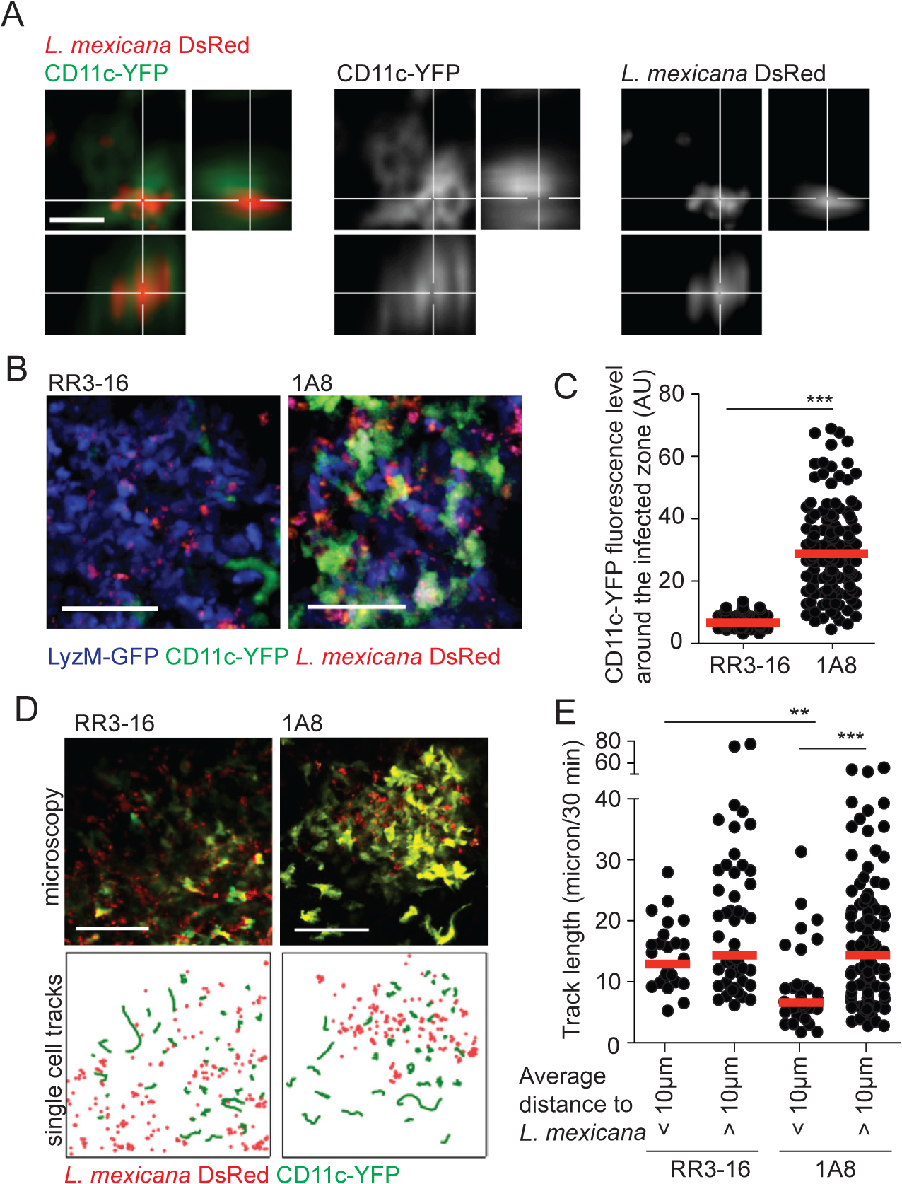 DC behavior at the site of infection in the absence of mature neutrophils.