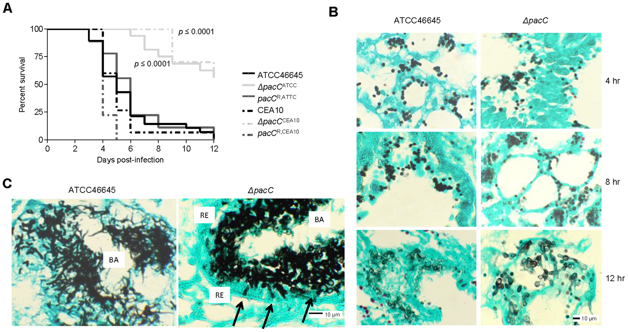 PacC is required for pathogenicity and epithelial invasion in leukopenic mice.