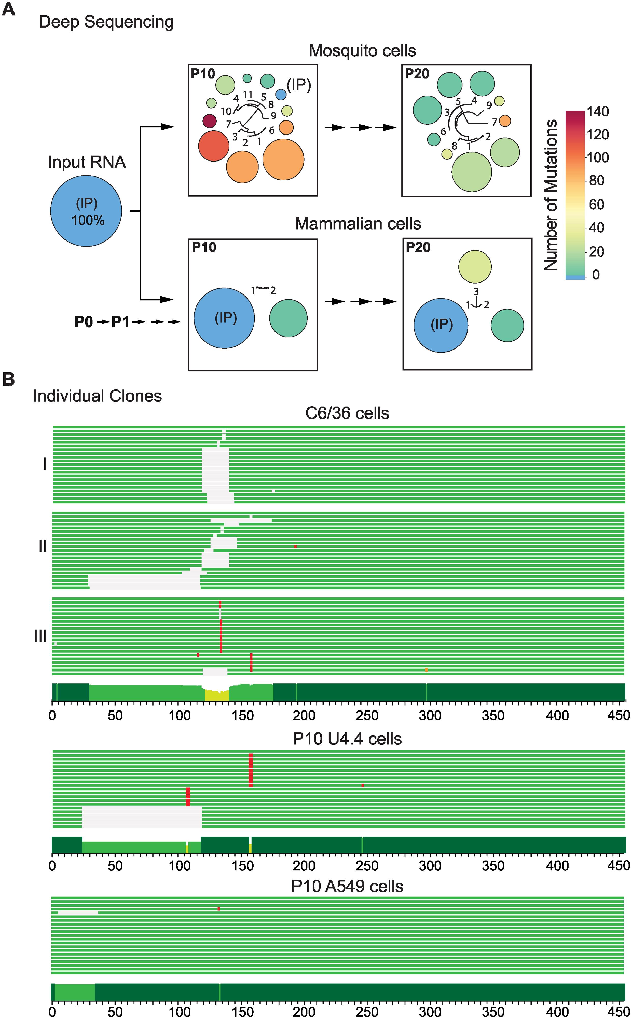 Sequence variations at the DENV 3'UTR during experimental host adaptation.