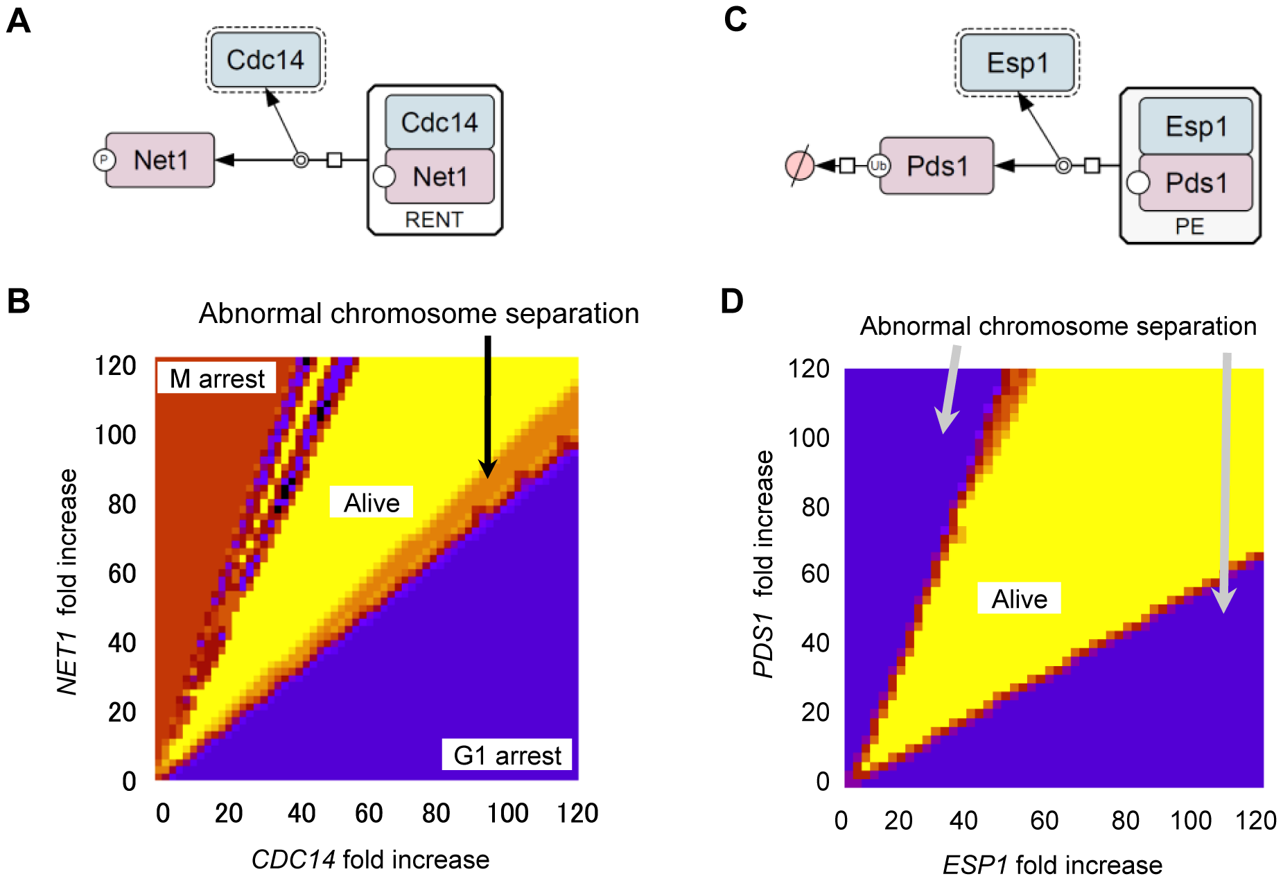 Computational analysis of quantitative relationship between <i>CDC14</i> and <i>NET1</i> as well as <i>ESP1</i> and <i>PDS1</i>.