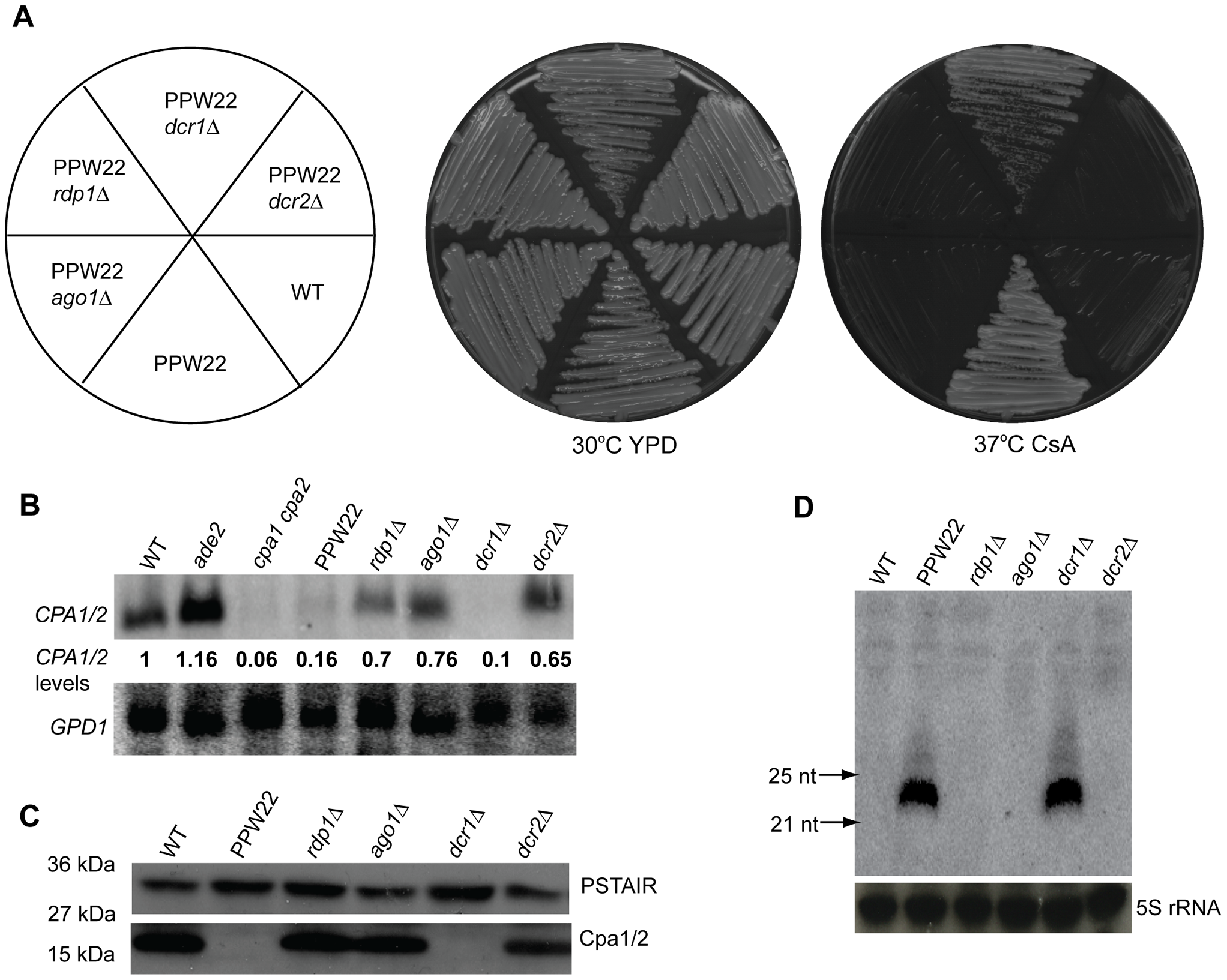 RNAi components are required for transgene-induced vegetative silencing.