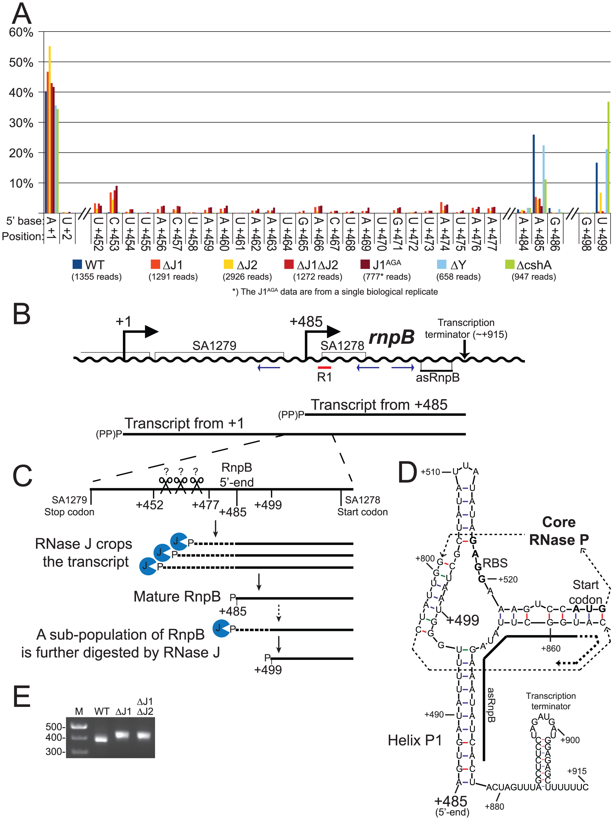 Both maturation and inactivation of RNase P RNA is carried out by RNase J.